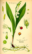 Illustration Convallaria majalis0.jpg