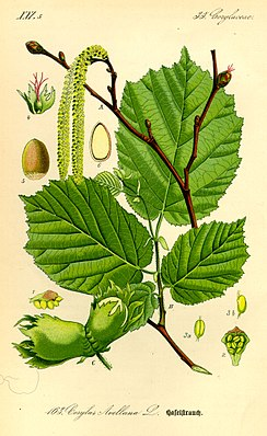 Illustration Corylus avellana0.jpg