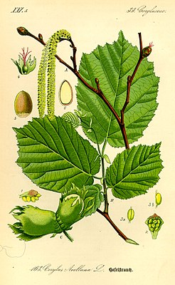Gemeine Hasel (Corylus avellana), Illustration