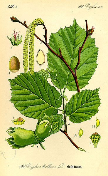 File:Illustration Corylus avellana0.jpg