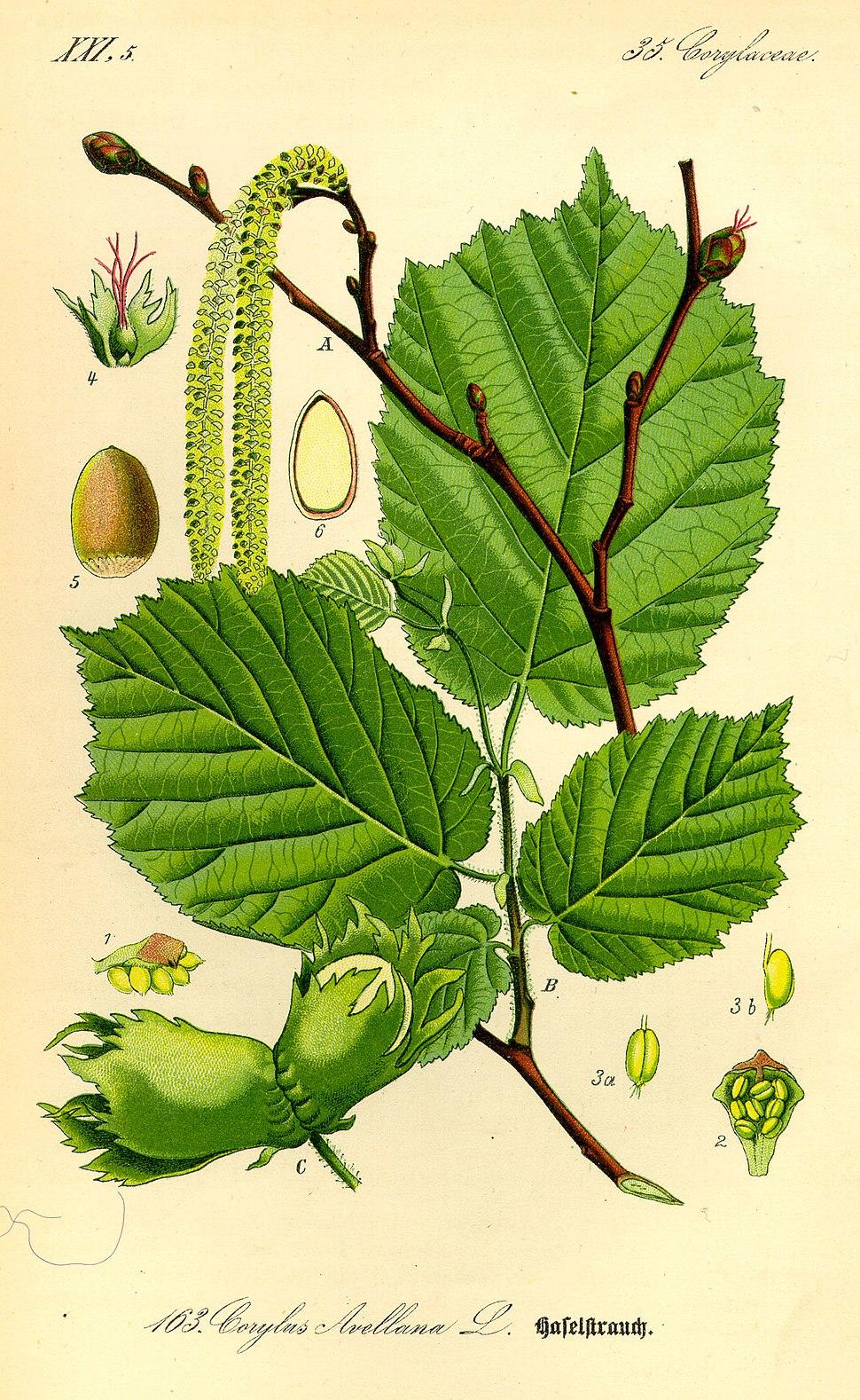 Illustration Corylus avellana0