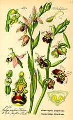 Illustration Ophrys fuciflora0.jpg
