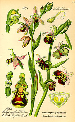 definition of ophrys