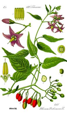 Bittersüßer Nachtschatten (Solanum dulcamara), Illustration