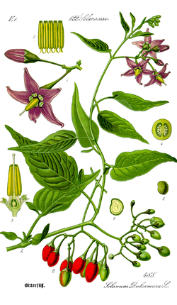 Illustration Solanum dulcamara0 clean.png