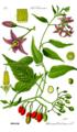 Illustration Solanum dulcamara0 clean.png