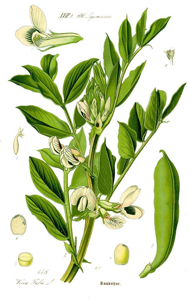 Bôb obyčajný (Vicia faba)