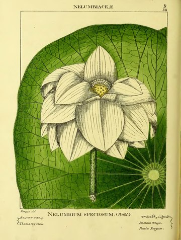 Illustrations of Indian Botany, Vol. 1.djvu