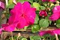 Impatiens Super Elfin Violet 0zz.jpg