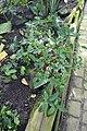 Impatiens hians-Jardin botanique Meise (8).jpg