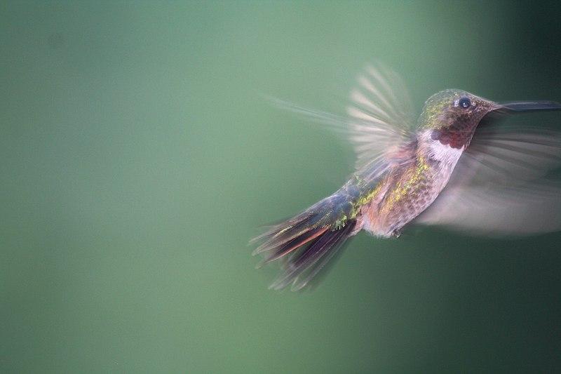 File:In motion, Broad-tailed hummingbird, selasphorus platycercus; in flight.JPG