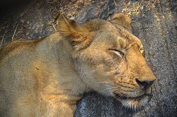 In the jungle the mighty jungle the lion sleeps tonight.jpg