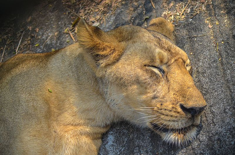 File:In the jungle the mighty jungle the lion sleeps tonight.jpg