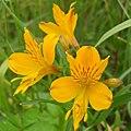 Inca Lily (3439871894).jpg