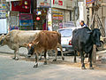 India - Delhi - 009 - cows hanging out on the road (2129391055).jpg