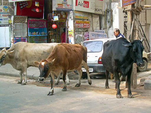 India - Delhi - 009 - cows hanging out on the road (2129391055)