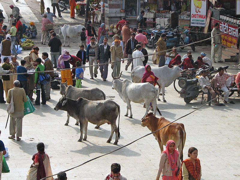 File:India - Haridwar - 002 - cows wandering aimlessly among the pilgrims (2086490984).jpg