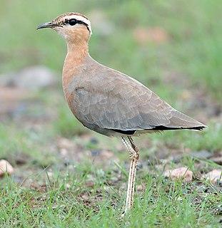 Indian courser species of bird