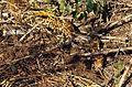 Indian Python (Python molurus) (20662177011).jpg