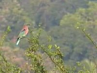 चित्र:Indian Roller.ogv