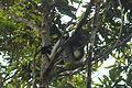 Indri in Andasibe 01.JPG