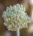 Inflorescence-allium-polyanthum.jpg