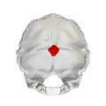 Internal occipital protuberance - close-up.png