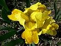 Iris (17128034219).jpg