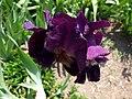 Iris 7 (Poltava Botanical garden).jpg