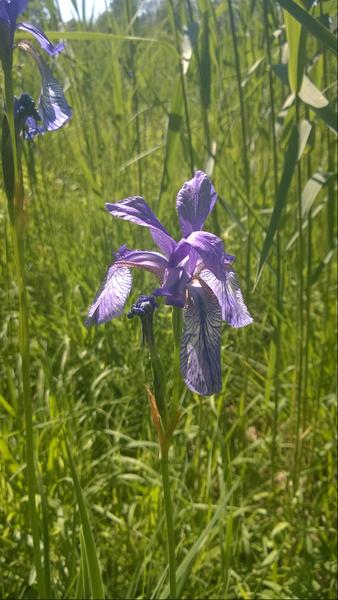 File:Iris sibirica.png