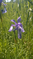 Iris sibirica.png
