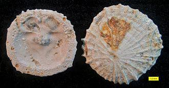 Brachiopod - Isocrania costata, Upper Maastrichtian (Upper Cretaceous), Maastricht, The Netherlands