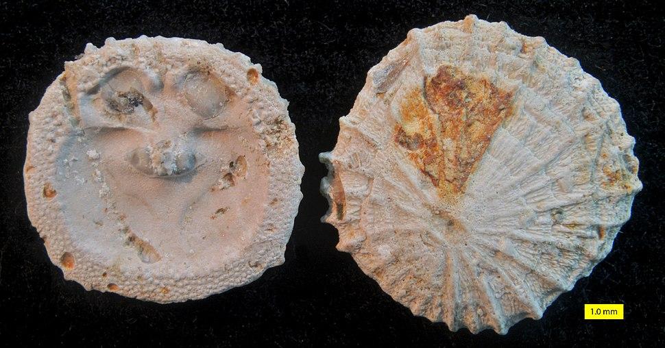 Isocrania costata Sowerby 1823
