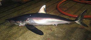 Isurus - Longfin mako shark (I. paucus)