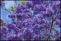 Jacaranda early bloom Scarborough-1 (21995501278).jpg