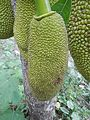 Jackfruit in Lamut Ifugao Church 02.jpg