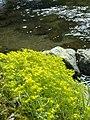 Japanese stonecrop - panoramio.jpg