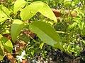 Jasminum tortuosum 1zz.jpg