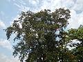 Jf5933Lubao San Nicolas Chrysophyllum cainito Pampangafvf 03.JPG
