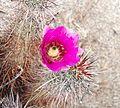Joshua Tree National Park - Hedgehog Cactus (Echinocereus engelmannii) - 16.JPG