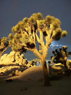 Joshua Trees in Joshua Tree NP 2.jpg