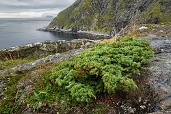 Juniperus communis at Litlandstabben, Moskenesøya, Lofoten, Norway, 2015 September.jpg