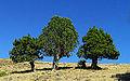 Juniperus excelsa - Grecian juniper 02.jpg