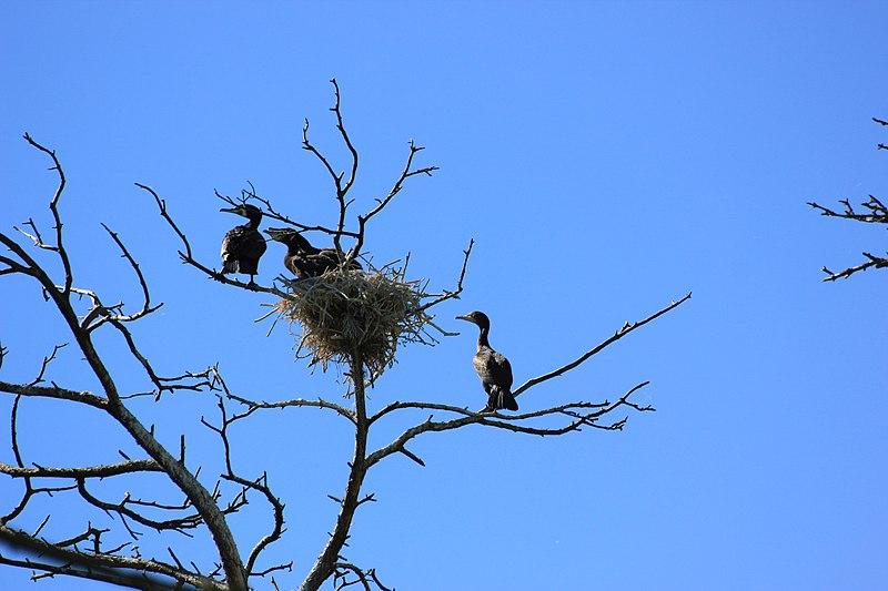 File:Juodkrante kolonia kormoranow 2.jpg