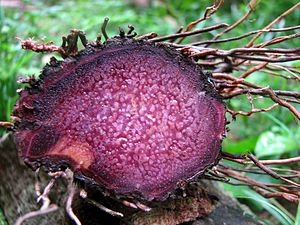 Yam (vegetable) - Purple yam freshly harvested and sliced for cross-sectional view