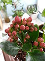 Kalanchoe blossfeldiana 長壽花.jpg