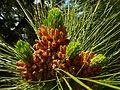 Kanarische Kiefer (Pinus canariensis) 05.jpg