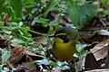 Kentucky Warbler (male) Fall Out 2 Sabine Woods TX 2018-04-09 09-05-42-2 (41507964701).jpg