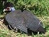 Kenya Crested Guineafowl