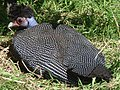 Kenya Crested Guineafowl.jpg